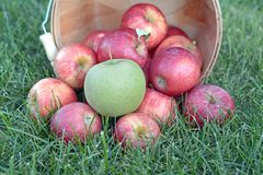 Sweet gala apple Royalty Free Stock Images