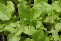 Sweet garden green lettuce seedlings. Sweet garden green lettuce leaf seedlings Royalty Free Stock Image