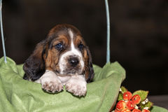 The sweet and gentle puppy Basset hound Stock Image