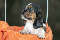 The sweet and gentle puppy Basset hound Royalty Free Stock Photo
