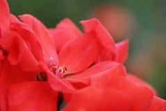 Sweet geranium Royalty Free Stock Image