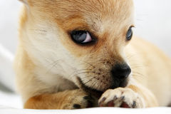 Sweet golden Chihuahua pup Stock Images
