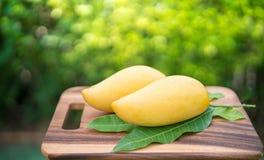 Sweet golden mango on green garden. Barracuda mango with green leaf Stock Photos