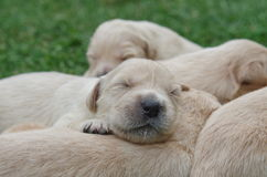 Sweet Golden retriever puppies sleeping Royalty Free Stock Image