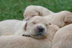 Sweet Golden retriever puppies sleeping. Cute golden retriever puppies sleeping on the green grass Royalty Free Stock Image