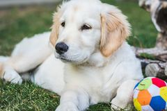 Sweet golden retriever puppy rest near a colorful ball stock photography
