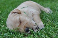Sweet Golden Retriever puppy sleeping Royalty Free Stock Photos