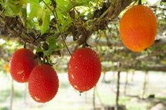 Sweet Gourd Stock Image
