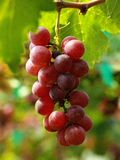 Sweet grape Thailand Stock Images