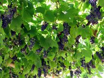 Sweet grapes for wine Royalty Free Stock Images