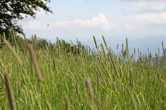 sweet grass Royalty Free Stock Photo