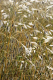 Sweet grass Stock Photography