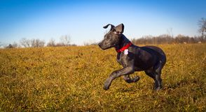 A cute blue Great Dane puppy runs left in a field with blue skies. A sweet Great Dane puppy runs across a big Royalty Free Stock Photos