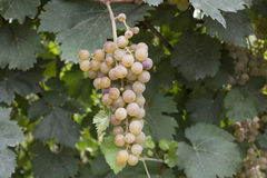 Sweet green grapes. In Hungary Royalty Free Stock Photos