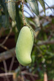 Sweet green mango on tree, thailand Royalty Free Stock Images