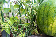 Sweet green organic watermelon outside. Tropical Bali island, Indonesia. Stock Photography