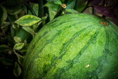 Sweet green organic watermelon outside. Tropical Bali island, Indonesia. Royalty Free Stock Images