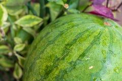 Sweet green organic watermelon outside. Tropical Bali island, Indonesia. Royalty Free Stock Photos