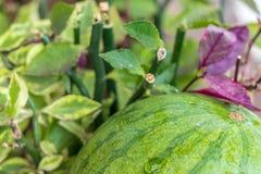 Sweet green organic watermelon outside. Tropical Bali island, Indonesia. Royalty Free Stock Image
