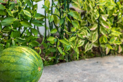 Sweet green organic watermelon outside. Tropical Bali island, Indonesia. Stock Photos
