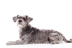 Free Sweet Grey Dog On White Stock Photos - 62898633