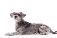 Sweet grey dog on white. Happy dog photographed in the studio on a white background stock photos