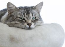 Sweet grey silver female siberian cat on a pillow, longhair cat Royalty Free Stock Photos