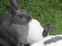 Sweet grey and white bunny rabbits from petting zoo in Vancouver. Royalty Free Stock Images