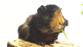 Fluffy guinea pig eating green grass sitting on a stump on a white background stock video footage