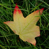 Sweet Gum Leaf Royalty Free Stock Images