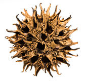 Sweet Gum Seed Pods Stock Photos
