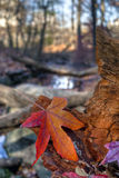 Sweet gum tree. Autumn with close yp of sweet gum leaf on log royalty free stock photos