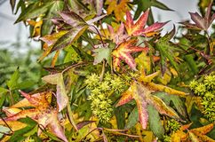 Sweet gum tree with green spikey leaves. Cose-up of a sweet gum tree or liquidambar styraciflua with green spikey fruits and with leaves in various shades of red Stock Image