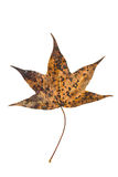 Sweet gum tree leaf on white Royalty Free Stock Photography