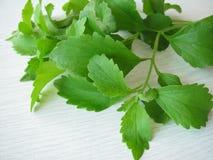 Sweet herb, Stevia rebaudiana Stock Image