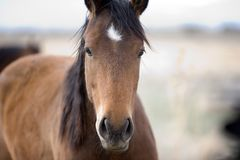 Sweet Horse Face. Frontal shot of a sweet-looking brown horse royalty free stock images