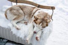 Sweet husky asleep on white skin, winter.  Royalty Free Stock Images