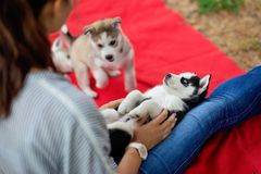 Sweet husky puppies are playing around a woman on the lawn. Love and care for pets. stock photos
