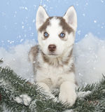 Sweet Husky Puppy Stock Images