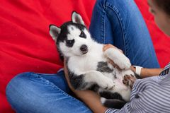 A sweet husky puppy is sitting on the laps of a woman on the lawn. Love and care for pets. royalty free stock photo