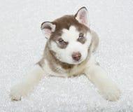 Sweet Husky Puppy Royalty Free Stock Image