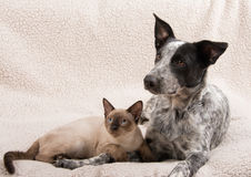 Sweet image of a young Siamese cat with a young Texas Heeler Stock Photos