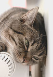 Sweet independent grey cat lies on warm radiator in bright room. Royalty Free Stock Photos