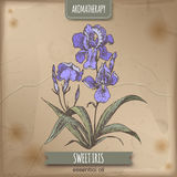 Sweet iris color sketch on vintage background. Aromatherapy series. Iris pallida aka Sweet iris color sketch on vintage background. Aromatherapy series. Great Royalty Free Stock Images
