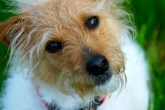 Sweet Jack. A brown headed rough coat Jack Russell Terrier with a green spring lawn in the background stock images