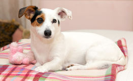 Sweet Jack  Russell on the bed Royalty Free Stock Photos