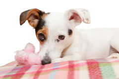 Sweet Jack  Russell on the bed Royalty Free Stock Photography