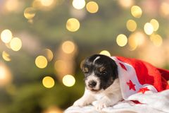 Sweet Jack Russell Terrier doggy royalty free stock image