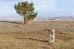 Sweet Japanese Akita Inu dog on the shore of Lake Baikal in the spring in the clear sunny day next to a lonely tree. Royalty Free Stock Photography