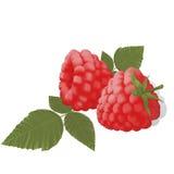 Sweet juicy ripe raspberries leaf Stock Photos